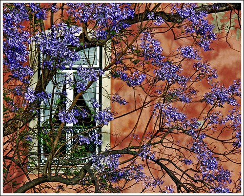 every May the Jacaranda blossoms
