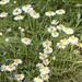 Small photo of Whiplash Daisy