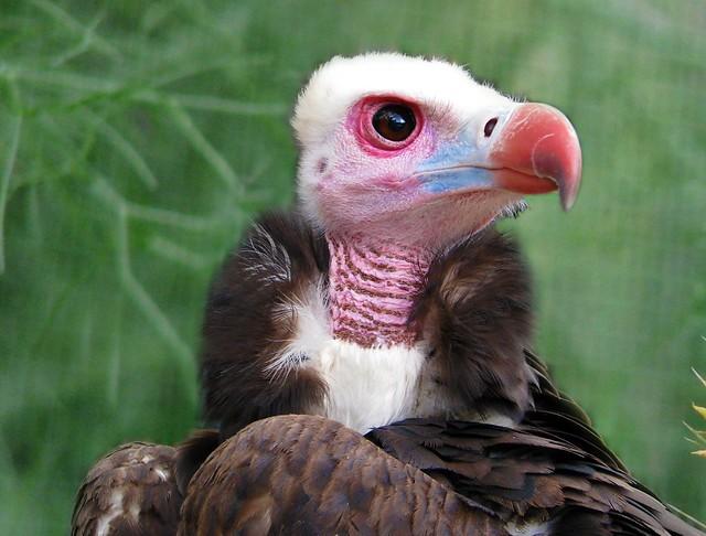 White-headed Vulture. Trigonoceps occipitalis. | Flickr ...