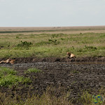 Lions Gathered by Water - Serengeti, Tanzania