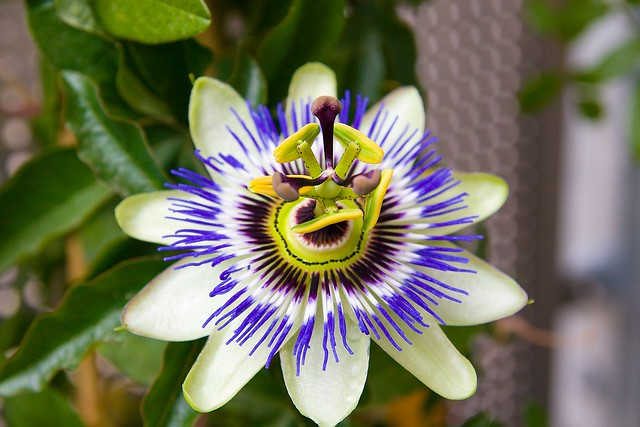 blaue passionsblume passiflora caerulea flickr photo. Black Bedroom Furniture Sets. Home Design Ideas