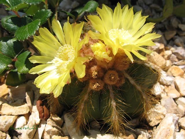 N. magnificus