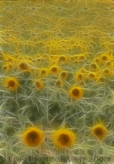 Fractal sunflowers