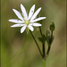 lesser stitchwort - Photo (c) Steve Chilton, some rights reserved (CC BY-NC-ND)