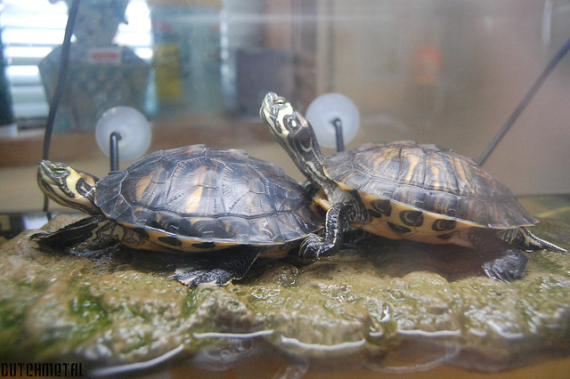 Water turtles This are my two turtles. Koekiemonster and G ...
