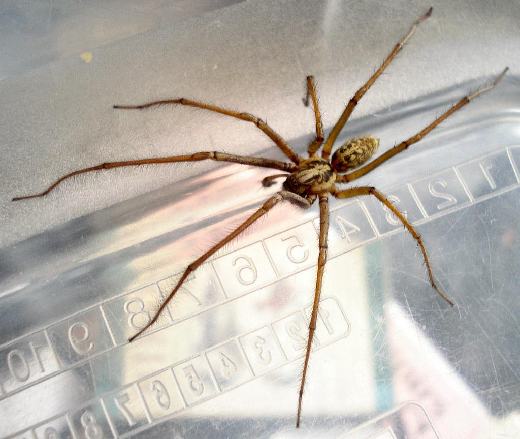 Barn Funnel Weaver (Arañas y alacranes comunes en la ...