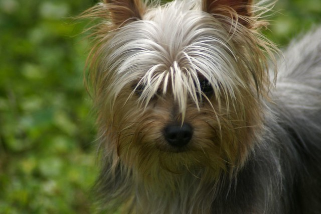 Harley our Yorkie Pom | Flickr - Photo Sharing!