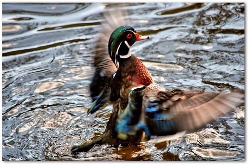 Woodduck Motion