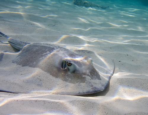 water island sand stingray bahamas nassau ef1740mmf4lusm southernstingray ewamarine dasyatisamericana canoneos40d ewamarineuaxp