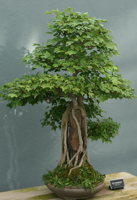 Acer sp bonsai. Photo by Uli Lorimer.