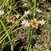 Small photo of Allium canadense WILD ONION