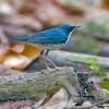 เขนน้อยไซบีเรีย Siberian blue Robin by somchai@2008