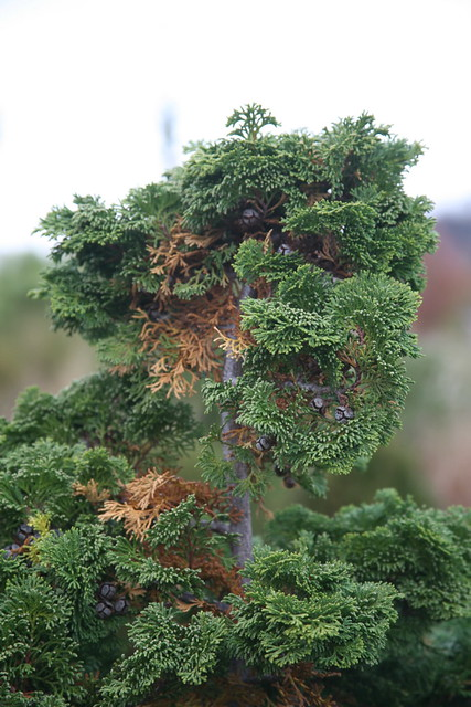 Hinoki False Cypress (Chamaecyparis obtusa) 'Compacta ...