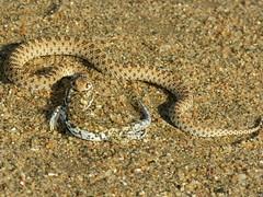 Dwarf Beaked Snake & gecko