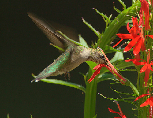 hummingbird rubythroatedhummingbird cardinalflower archilochuscolubris flyinghummingbird cardinalplant slbfeeding slbflying slbhovering