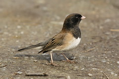 animal, sparrow, ortolan bunting, fauna, finch, junco, emberizidae, beak, bird, lark, wildlife,