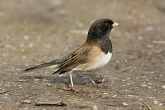 cinclidae(0.0), house sparrow(0.0), brambling(0.0), animal(1.0), sparrow(1.0), ortolan bunting(1.0), fauna(1.0), finch(1.0), junco(1.0), emberizidae(1.0), beak(1.0), bird(1.0), lark(1.0), wildlife(1.0),
