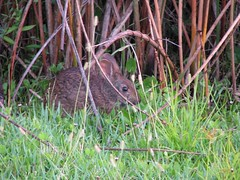 marsh rabbit hiding