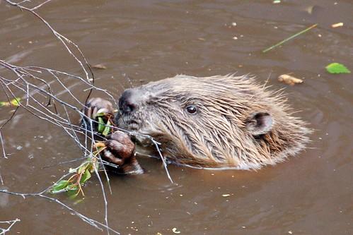 Beaver Shot