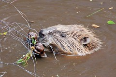 animal, otter, rodent, fauna, muskrat, whiskers, beaver, wildlife,