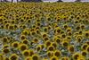 Photo:Sunflower By cinz