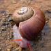 Amphicyclotus, Montana de Macazal, Honduras by slapcin