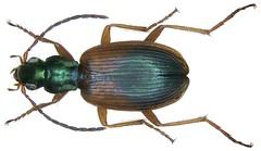 Anchomenus dorsalis (Pontoppidan, 1763)