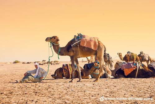 hot yellow desert tunisia dromedary camel caravan arabian overlander onehump fivestarsgallery lesamisdupetitprince turbanheadband touaregturban