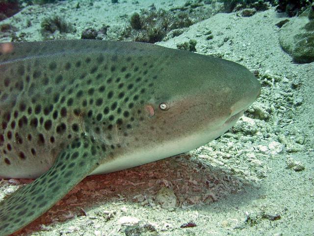 Squalo leopardo/leopard shark