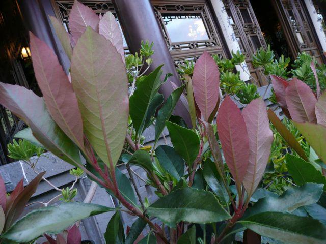 Eriobotrya deflexa ´Coppertone´ (Coppertone loquat)