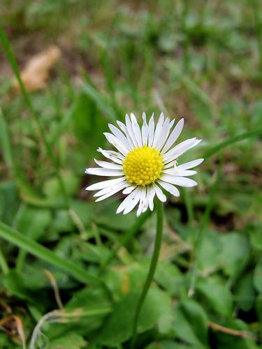 Lawn daisy [Bellis Perennis]