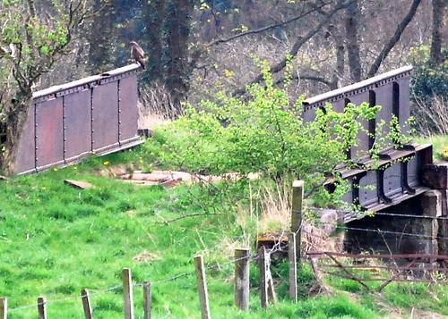Buzzard on old EK-Blantyre Railway Bridge