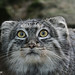 Small photo of Pallas' Cat or Manul