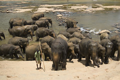 animal, indian elephant, elephant, elephants and mammoths, african elephant, herd, fauna, wildlife,