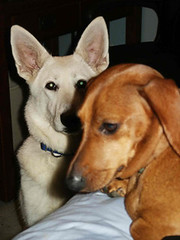 dog breed, animal, dog, carolina dog, canaan dog, pet, mammal, wolfdog,