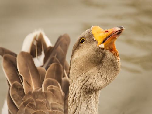 bird roy austin texas wildlife goose roundrock foul canoneos30d canonef70200f4lusm motleypixel niswanger rgmfc