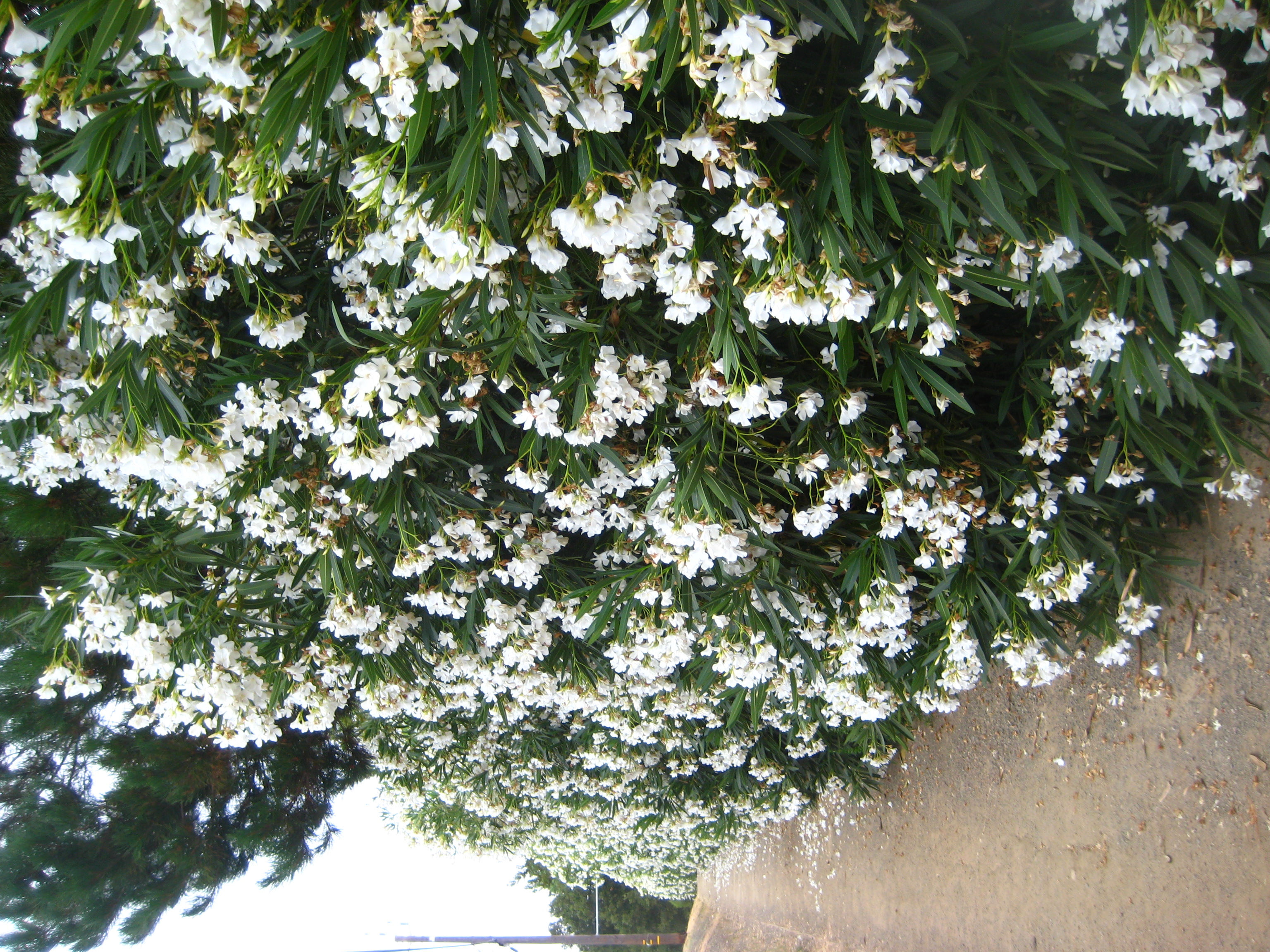 the most common shrubprivacy hedgeflower oleander via