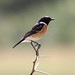 African Stonechat - Photo (c) Clive Reid, some rights reserved (CC BY-NC-ND)