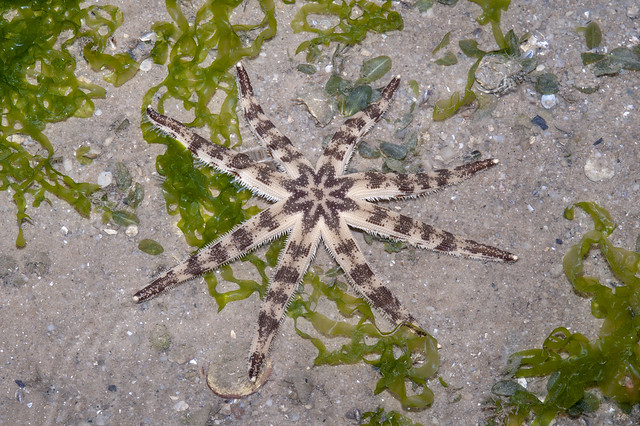 Eight armed sand star (Luidia maculata)