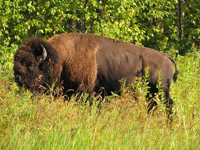 Wood Buffalo (Wood Bison) | Flickr - Photo Sharing!