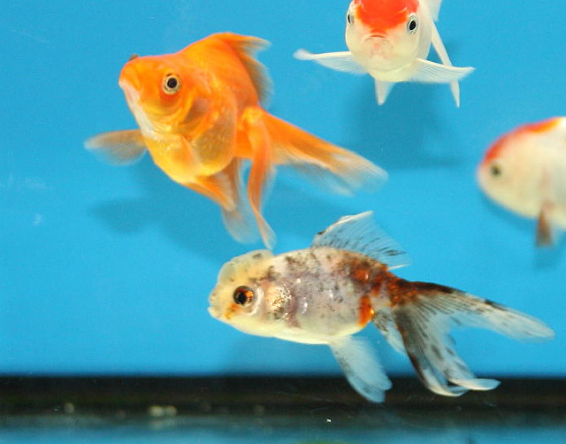 Red + Calico Fantail Goldfish | Flickr - Photo Sharing!