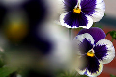 pansy, flower, purple, yellow, plant, macro photography, wildflower, flora, close-up, petal, viola,