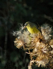 Goldfinch with thistle-seed