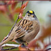 Golden-crowned Sparrow - Photo (c) Terry & Julie, some rights reserved (CC BY-NC-SA)