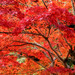 Small photo of Maple Tree, Ablaze