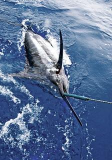 0077_'Grander' Blue Marlin, (1000lb+)