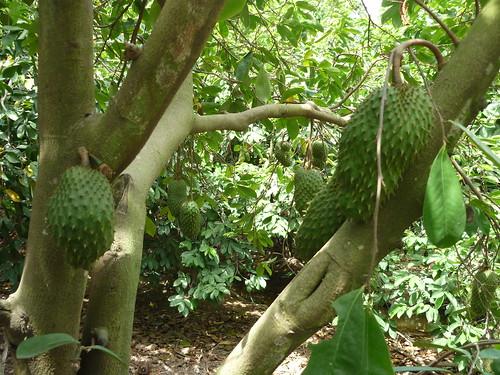 Coenzym 1, Vườn cây Mãng cầu xiêm Annona muricata Annonaceae…