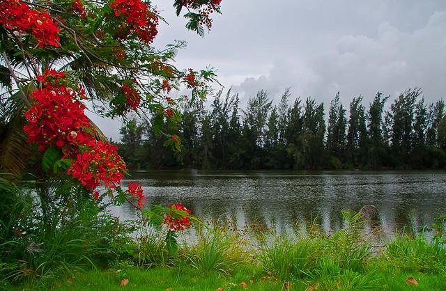 ARBOL DE FLAMBOYAN (FLAMBOYAN TREE)