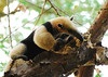 Northern Tamandua - Photo (c) Jerry Oldenettel, some rights reserved (CC BY-NC-SA)