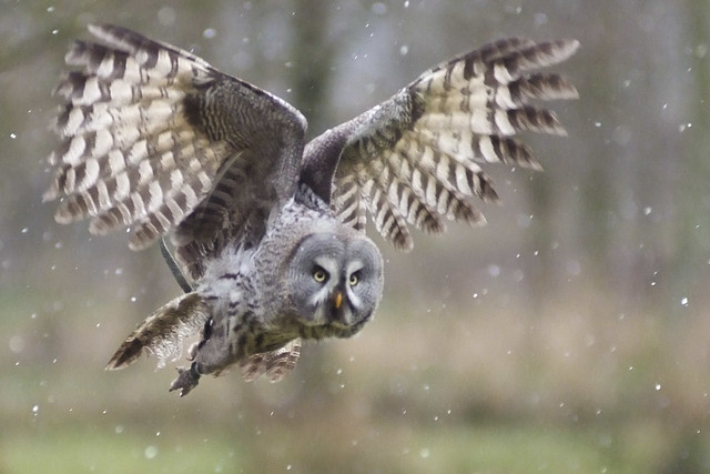 great grey owl bartkauz strix nebulosa explore flickr photo sharing. Black Bedroom Furniture Sets. Home Design Ideas